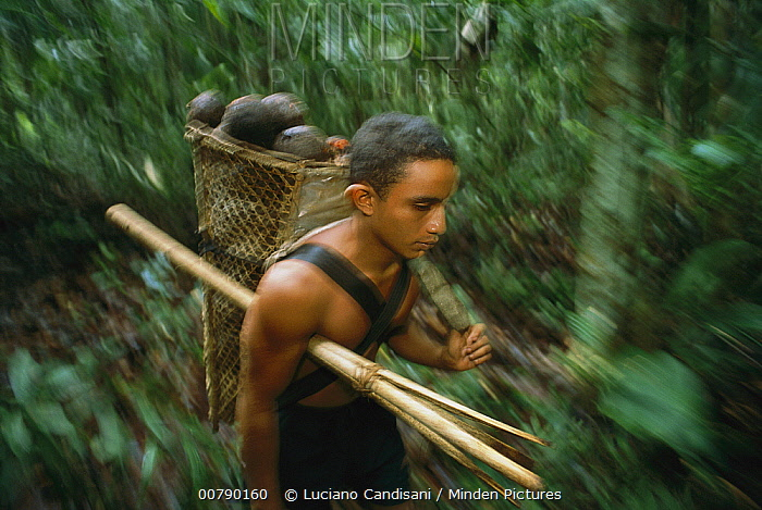 Brazil Nut (Bertholletia excelsa) harvest collected by young Native Amazonian boy, Cajari River Ecological Reserve, Brazil  -  Luciano Candisani