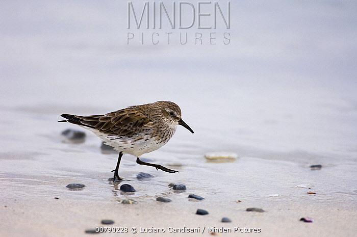 White-rumped Sandpiper (Calidris fuscicollis) on shoreline, Volunteer Point, East Falkland Island, Falkland Islands  -  Luciano Candisani