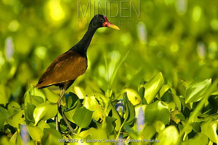 Wattled Jacana (Jacana jacana) walking on water plants, Pantanal, Brazil  -  Luciano Candisani