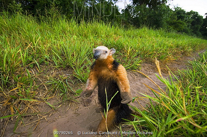 Southern Anteater (Tamandua tetradactyla) in defensive position, Pantanal, Brazil  -  Luciano Candisani