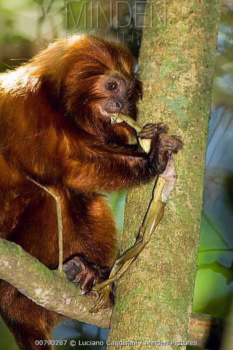 Golden Lion Tamarin (Leontopithecus rosalia) eating a tree frog, Silva Jardim, Rio de Janeiro state, Atlantic Forest, Brazil  -  Luciano Candisani