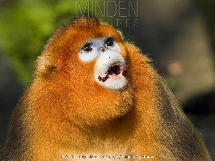 Golden Snub-nosed Monkey (Rhinopithecus roxellana) calling, China  -  Mitsuaki Iwago