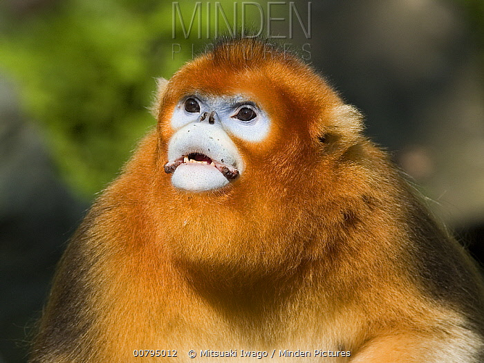 Golden Snub-nosed Monkey (Rhinopithecus roxellana) portrait, China  -  Mitsuaki Iwago