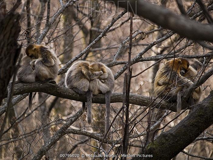 Golden Snub-nosed Monkey (Rhinopithecus roxellana) troop huddling for warmth, China  -  Mitsuaki Iwago