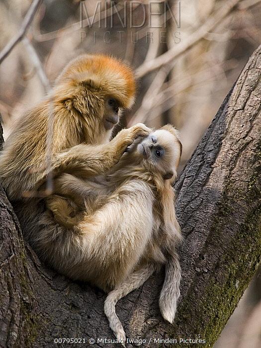 Golden Snub-nosed Monkey (Rhinopithecus roxellana) grooming young, China  -  Mitsuaki Iwago
