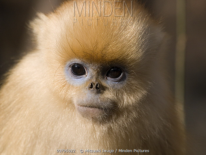Golden Snub-nosed Monkey (Rhinopithecus roxellana) baby, China  -  Mitsuaki Iwago