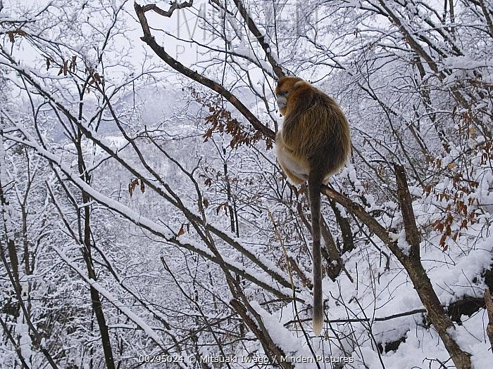 Golden Snub-nosed Monkey (Rhinopithecus roxellana) in forest in winter, China  -  Mitsuaki Iwago