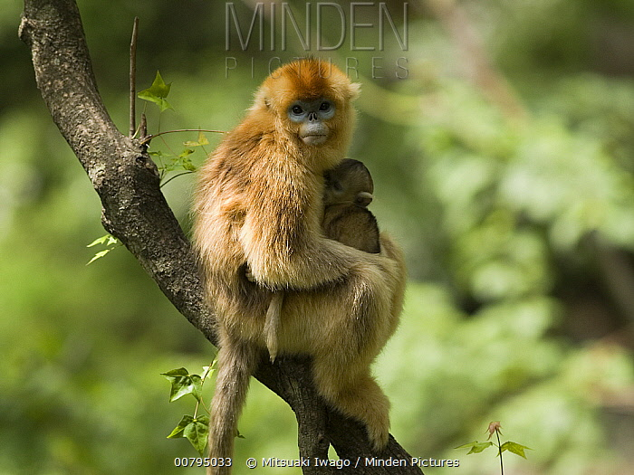 Golden Snub-nosed Monkey (Rhinopithecus roxellana) mother and young, China  -  Mitsuaki Iwago