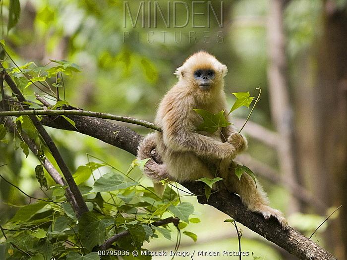 Golden Snub-nosed Monkey (Rhinopithecus roxellana), juvenile foraging, China  -  Mitsuaki Iwago
