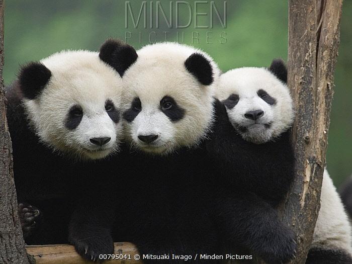 Giant Panda (Ailuropoda melanoleuca), three captive bred cubs, China  -  Mitsuaki Iwago