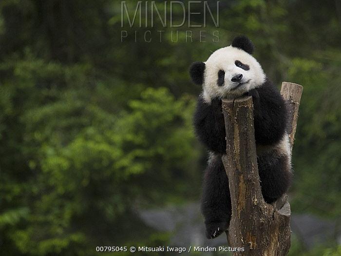 Giant Panda (Ailuropoda melanoleuca), captive bred cub resting in tree stump, China  -  Mitsuaki Iwago