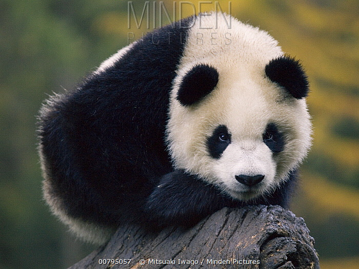Giant Panda (Ailuropoda melanoleuca), captive bred cub, China  -  Mitsuaki Iwago