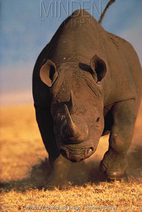Black Rhinoceros (Diceros bicornis) charging, Ngorongoro Crater, Tanzania  -  Mitsuaki Iwago