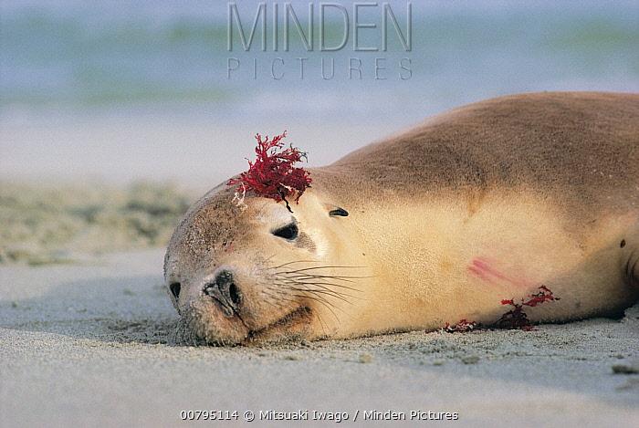 Australian Sea Lion (Neophoca cinerea) resting with seaweed on its head, Australia  -  Mitsuaki Iwago
