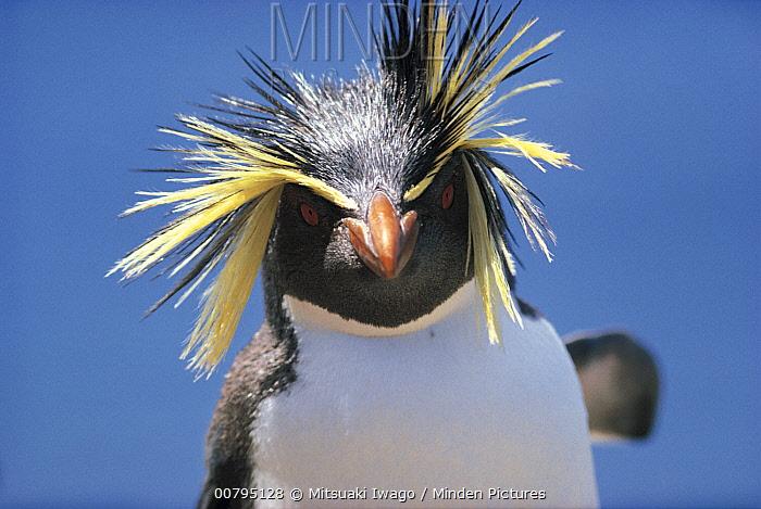 Southern Rockhopper Penguin (Eudyptes chrysocome) portrait, Antarctica  -  Mitsuaki Iwago