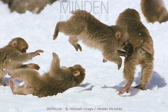 Japanese Macaque (Macaca fuscata) juveniles playing in the snow, Japan  -  Mitsuaki Iwago