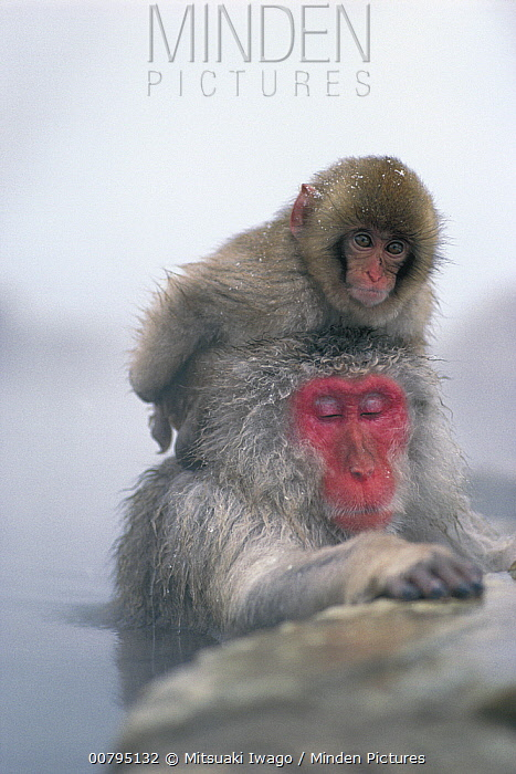 Japanese Macaque (Macaca fuscata) mother soaking in hot spring with baby on her head, Japan  -  Mitsuaki Iwago