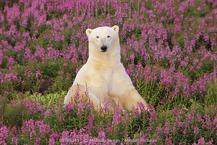 Polar Bear (Ursus maritimus) sitting in field of fireweed, Arctic  -  Mitsuaki Iwago