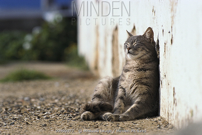 Domestic Cat (Felis catus) leaning against wall and resting in the sun  -  Mitsuaki Iwago