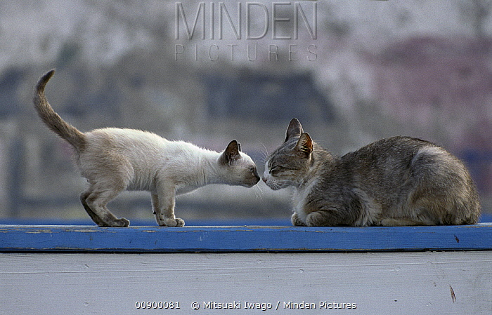Domestic Cat (Felis catus) Siamese kitten and adult sniffing each other  -  Mitsuaki Iwago