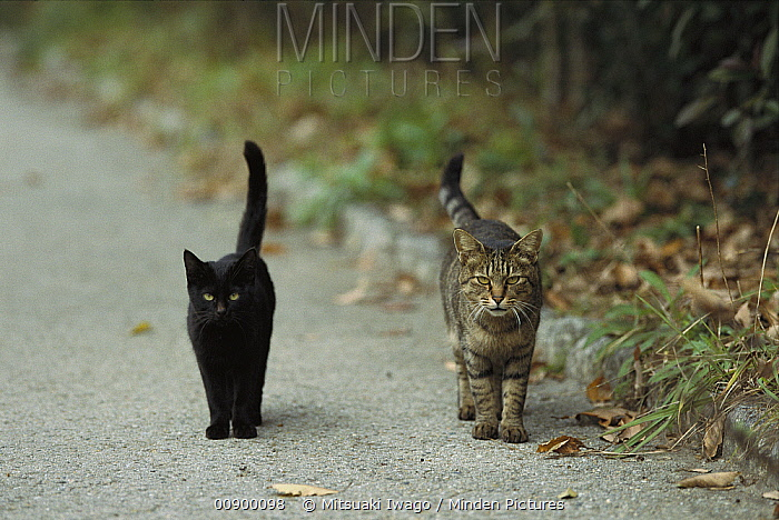 Domestic Cat (Felis catus) two alert adults, a black cat and a Tabby, walking down a path side by side with tails raised  -  Mitsuaki Iwago