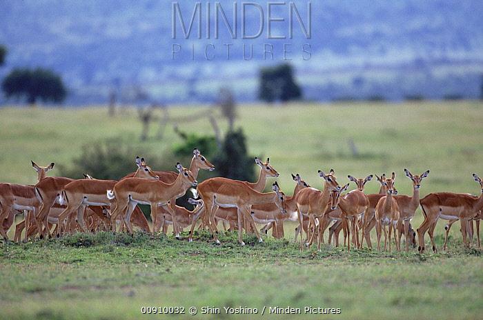 Impala (Aepyceros melampus) herd on grasslands, east Africa  -  Shin Yoshino