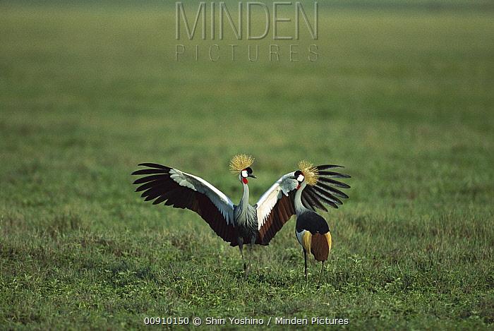 Grey Crowned Crane (Balearica regulorum) pair courting, Masai Mara National Reserve, Kenya  -  Shin Yoshino