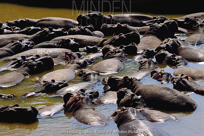 Hippopotamus (Hippopotamus amphibius) group in water, Masai Mara National Reserve, Kenya  -  Shin Yoshino