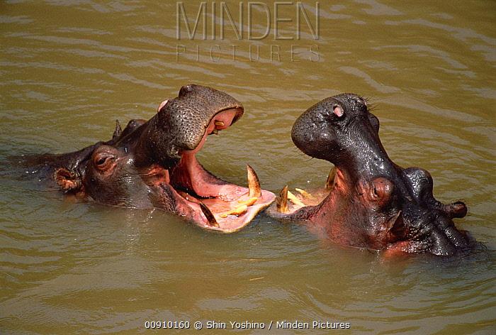 Hippopotamus (Hippopotamus amphibius) pair fighting in water, Masai Mara National Reserve, Kenya  -  Shin Yoshino