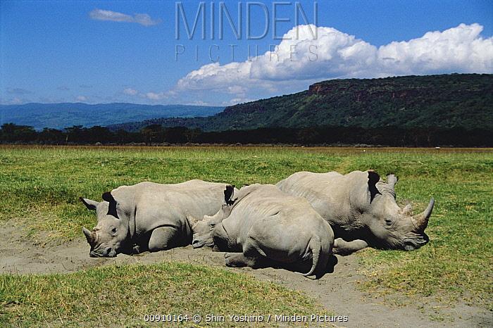 White Rhinoceros (Ceratotherium simum) trio resting, Lake Nakuru, Kenya  -  Shin Yoshino