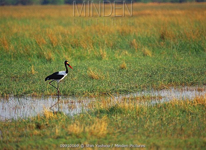 Saddle-billed Stork (Ephippiorhynchus senegalensis) standing in wetland, Savute, Botswana  -  Shin Yoshino