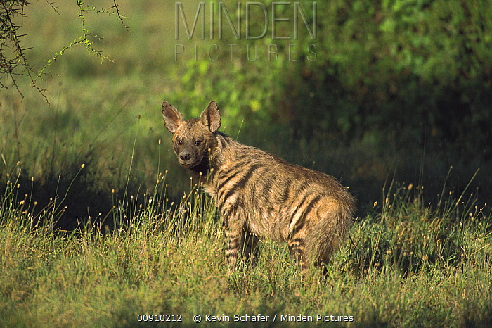 Striped Hyena (Hyaena hyaena), Serengeti National Park, Tanzania  -  Kevin Schafer