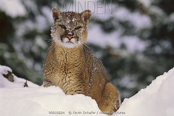 Mountain Lion (Puma concolor) in snow, Montana  -  Kevin Schafer