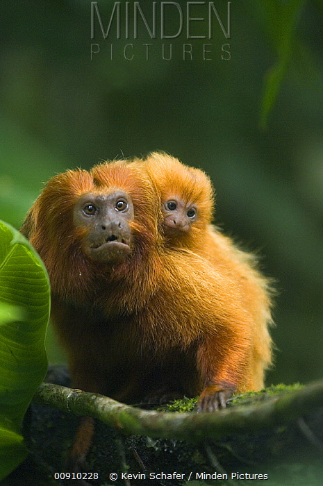 Golden Lion Tamarin (Leontopithecus rosalia) male with baby, Poco das Antas Reserve, Atlantic Forest, southeast Brazil  -  Kevin Schafer