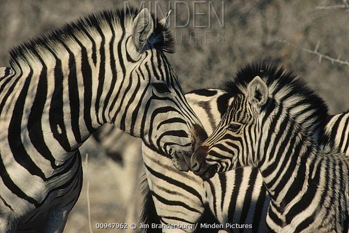 Burchell's Zebra (Equus burchellii) mother and baby nuzzling, Namibia  -  Jim Brandenburg