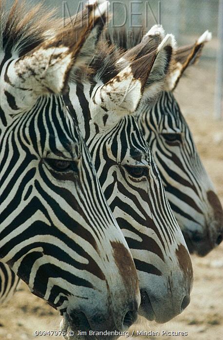 Burchell's Zebra (Equus burchellii) trio in profile, Namibia  -  Jim Brandenburg