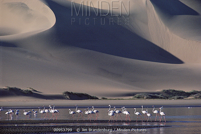 Greater Flamingo (Phoenicopterus ruber) flock in lagoon where Atlantic Ocean meets the Namib dunes, Namibia  -  Jim Brandenburg