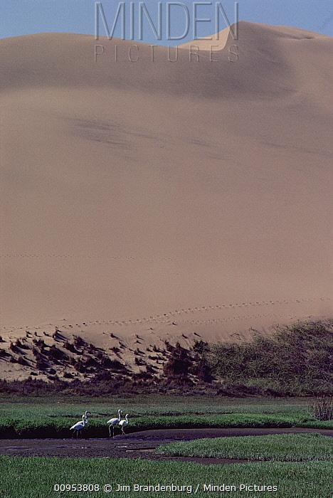 Greater Flamingo (Phoenicopterus ruber) group walking in marsh below sand dune, Namibia  -  Jim Brandenburg