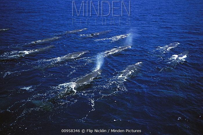 Sperm Whale (Physeter macrocephalus) pod surfacing, Galapagos Islands, Ecuador  -  Flip Nicklin