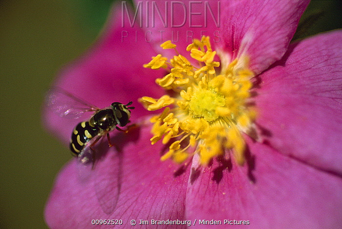 Hoverfly (Syrphidae) mimic of a bee on a Prairie Rose (Rosa suffulta), North America  -  Jim Brandenburg