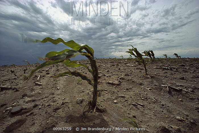 Maize (Zea mays) plants suffering from dust storms, erosion, and drought, Minnesota  -  Jim Brandenburg