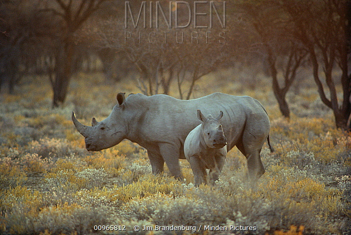 White Rhinoceros (Ceratotherium simum) mother with young, South Africa  -  Jim Brandenburg