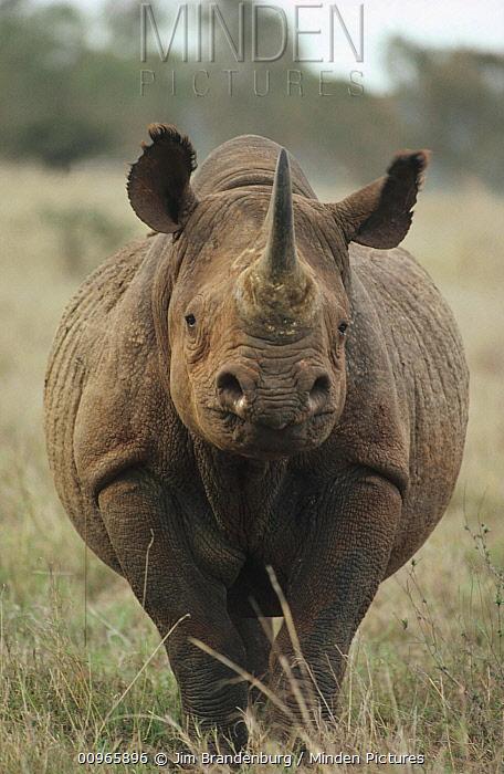 Black Rhinoceros (Diceros bicornis) portrait, South Africa  -  Jim Brandenburg