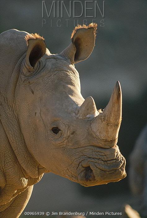 White Rhinoceros (Ceratotherium simum) portrait, San Diego Zoo Safari Park, California  -  Jim Brandenburg