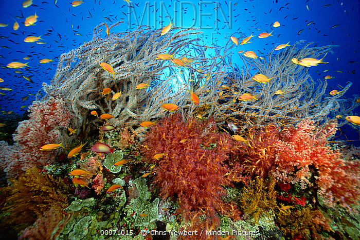 Underwater reef scene with Sea Whips, Gorgonian Whip Coral, blossoming Soft Corals, Guard Plate Coral, and schools of Pseudanthias, Red Sea, Egypt  -  Chris Newbert