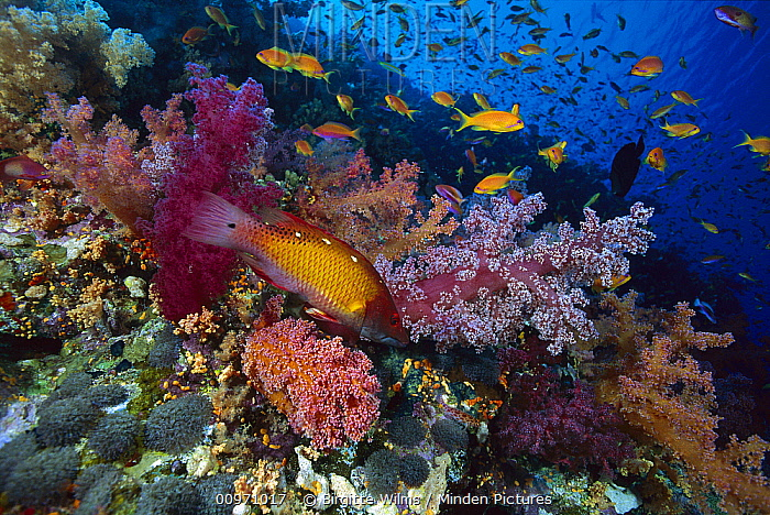 Diana's Hogfish (Bodianus diana) and Soft Coral (Dendronephthya sp), Red Sea, Egypt  -  Birgitte Wilms