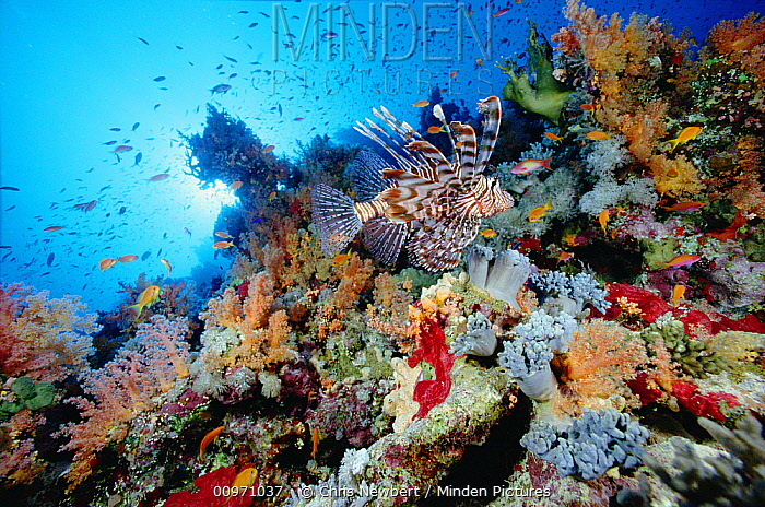 Common Lionfish (Pterois volitans) swimming over coral reef, Red Sea