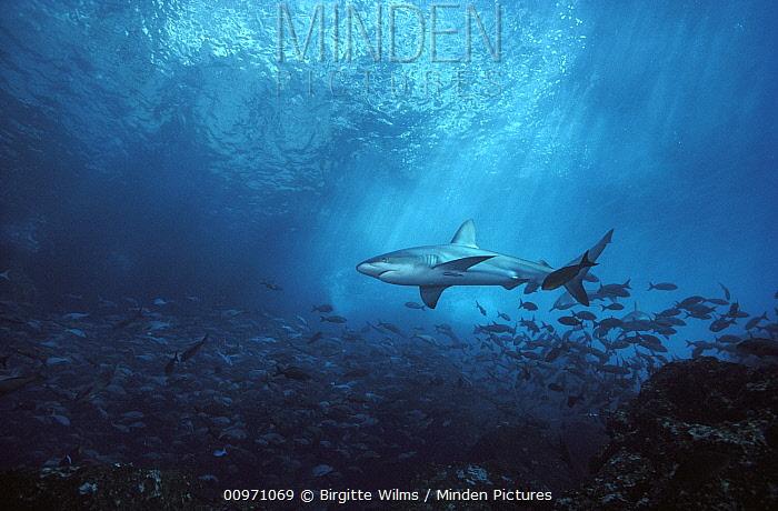 Galapagos Shark (Carcharhinus galapagensis) underwater portrait, Galapagos Islands, Ecuador  -  Birgitte Wilms