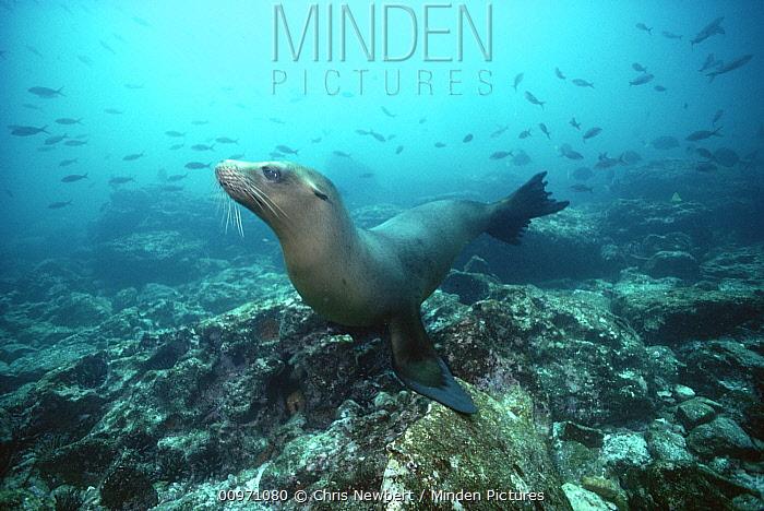Galapagos Sea Lion (Zalophus wollebaeki) underwater, Galapagos Islands, Ecuador  -  Chris Newbert