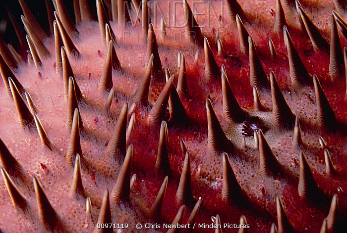 Crown-of-thorns Starfish (Acanthaster planci) detail, Kona, Hawaii  -  Chris Newbert